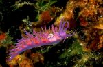 Nudibranch Flabellina