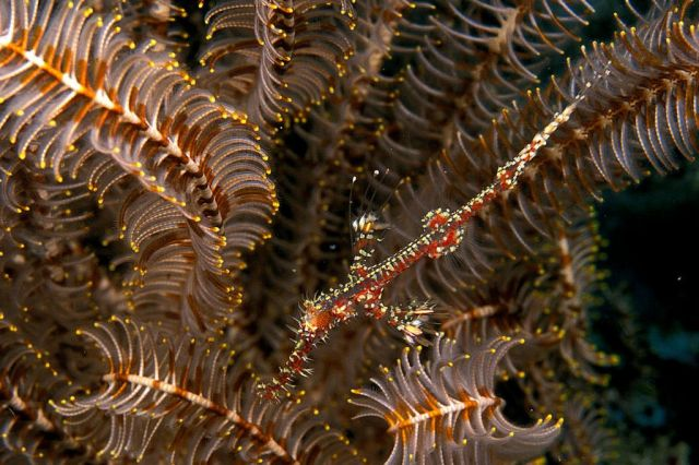 Orned ghost pipefish