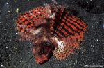 Red small pterois