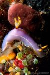 Nudibranch Hypselodoris bullocki